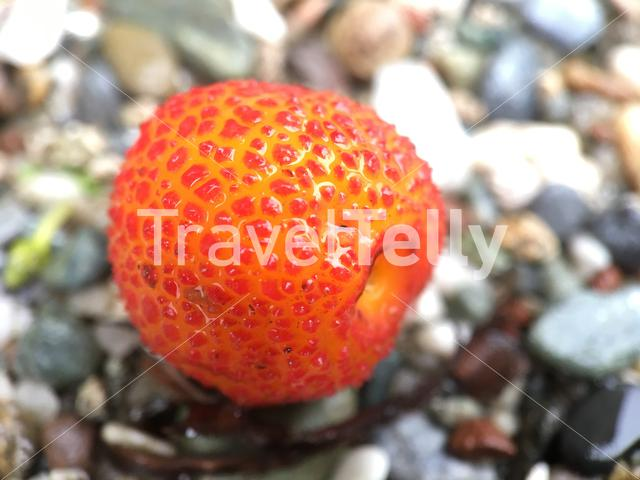 Close up from a strawberry tree fruit in Greece