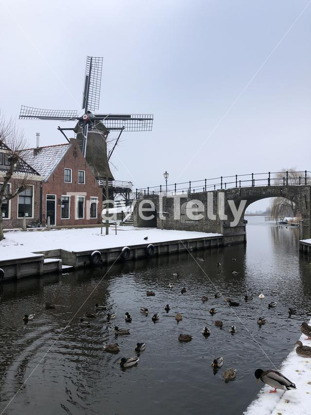 Canal with ducks in Sloten during winter