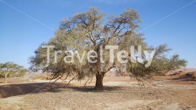 Old trees at Sossusvlei in Namibia