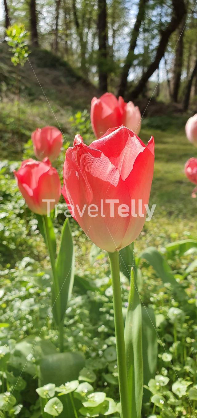 Dutch Tulips in garden
