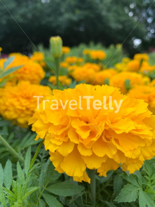 Marigolds in bloom at the Fort Worth Botanical Gardens
