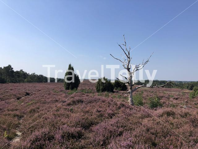 Flowering heather at the Lemelerberg in Overijssel, The Netherlands