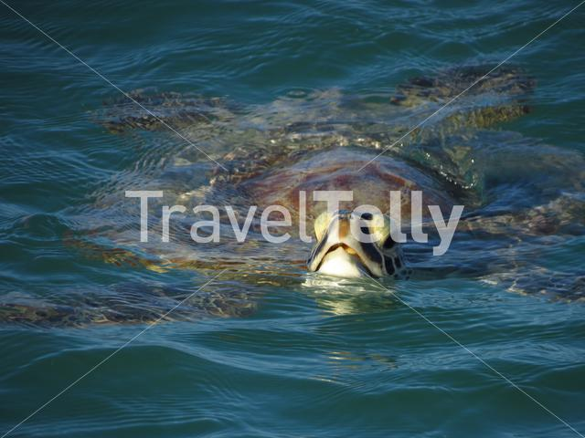 Turtle in Monkey Mia Shark Bay Western Australia