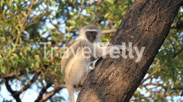 Young vervet monkey in a tree at Waterberg South Africa