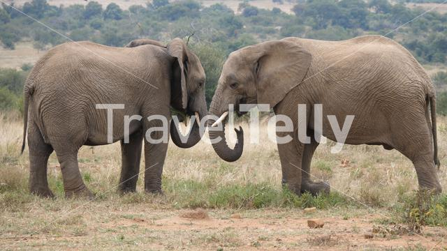 Two african elephants at Pilanesberg Game Reserve in South Africa