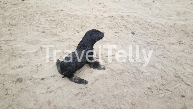Baby seal at Cape Cross in Namibia