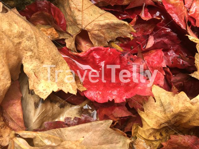 Water in a red leaf during autumn in Greece