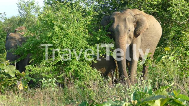 Group Asian elephants eating from the trees of Udawalawe national Park Sri Lanka