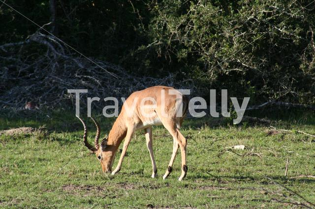 Springbok eating grass, South Africa