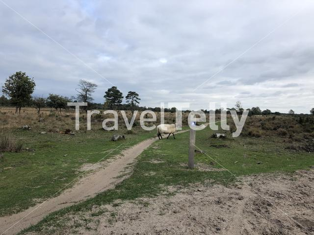 Sheep crossing a MTB trail at Nationaal Park Drents-Friese Wold in Friesland, The Netherlands