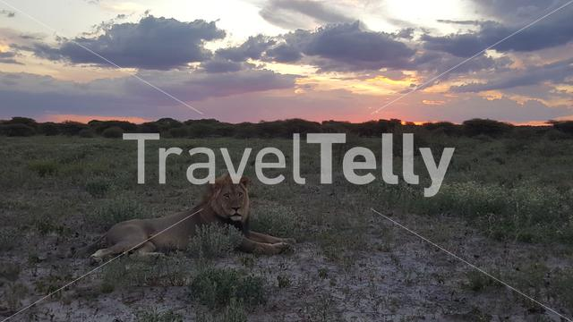 male lion laying at the Savannah in Central Kalahari Game Reserve during sunset