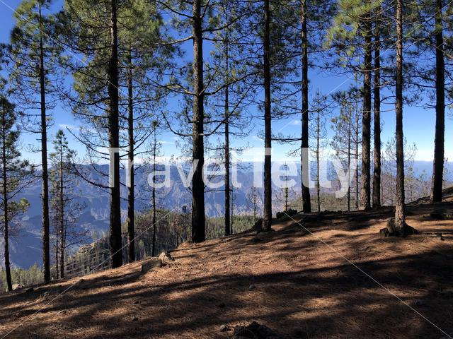 Forest on Gran Canaria