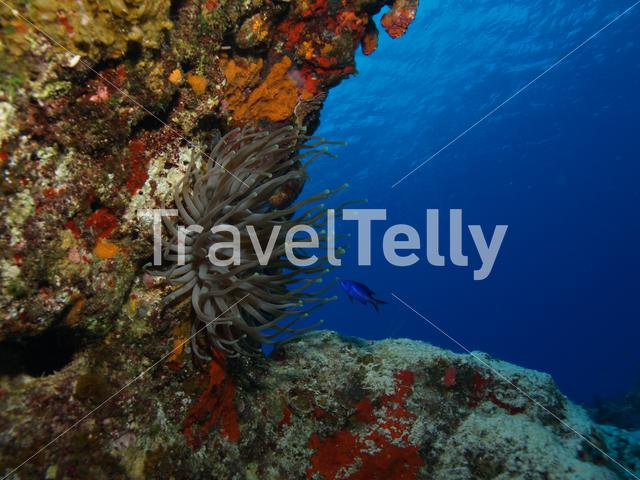 Anemone with blue Fusilier fish in the Mesoamerican Reef Mexico