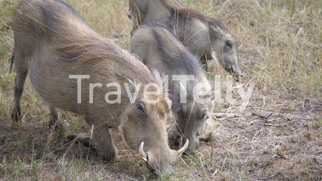 Herd of warthogs eating grass in Waterberg South Africa