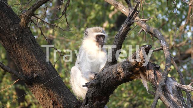 Vervet monkey in a tree at Waterberg South Africa