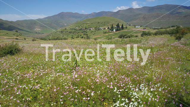Filed of flowers in the Mountains of Lesotho Africa