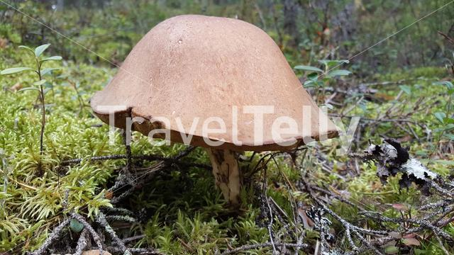 Big fungus in Koivusuo Strict Nature Reserve