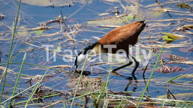 African jacana eats from a shallow lake