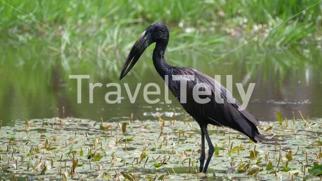 African openbill on tree trunk