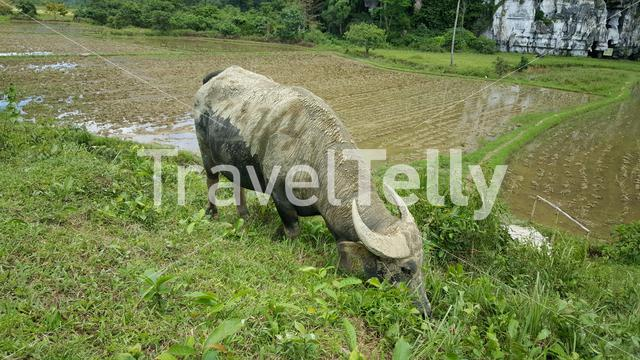 Buffalo in grass field in Sabang, Palawan, Philippines