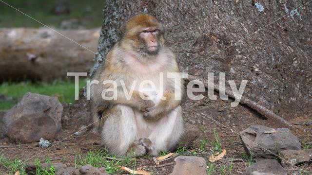 Big barbary ape at Cèdre Gouraud Forest in the Middle Atlas Mountain Range of Morocco