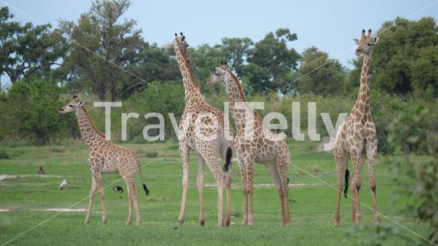 Giraffe family standing together at Moremi Game Reserve, Botswana