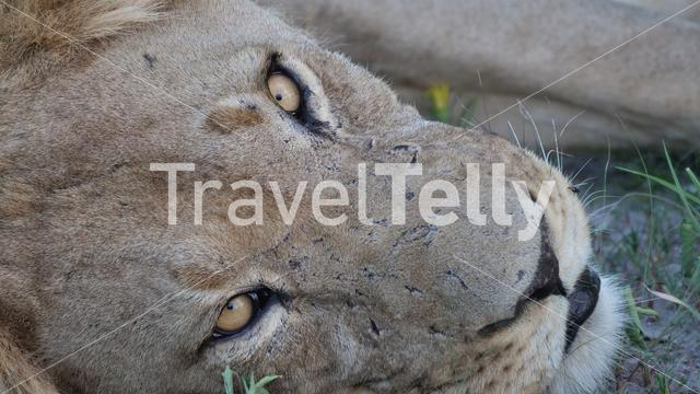 Male lion at Central Kalahari Game Reserve in Botswana