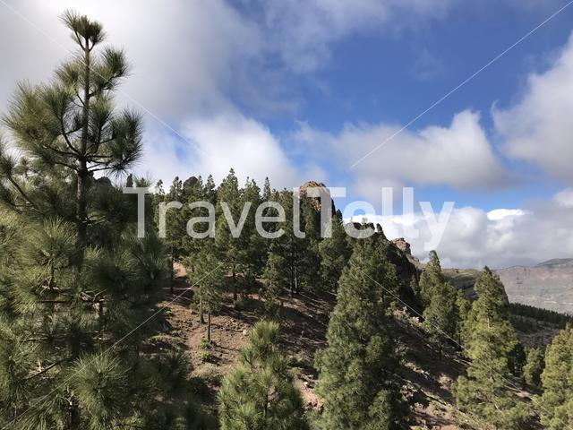Fir trees around the Roque Nublo a volcanic rock on the island of Gran Canaria