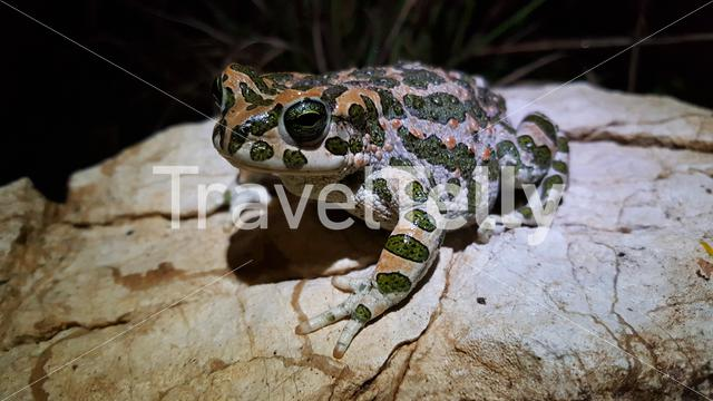 European green toad at night in Greece