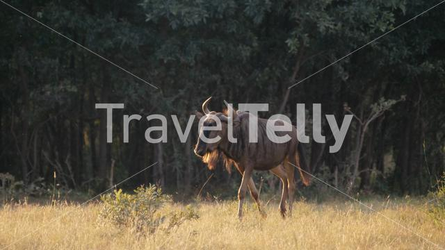 Wildebeest at the savanna of Pilanesberg National Park Game Reserve South Africa