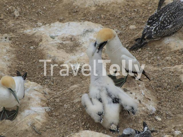 Gannet bird feeding his young in New Zealand