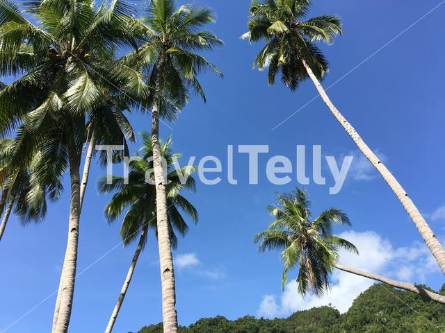 Palmtrees in the hills of Anda Bohol the Philippines