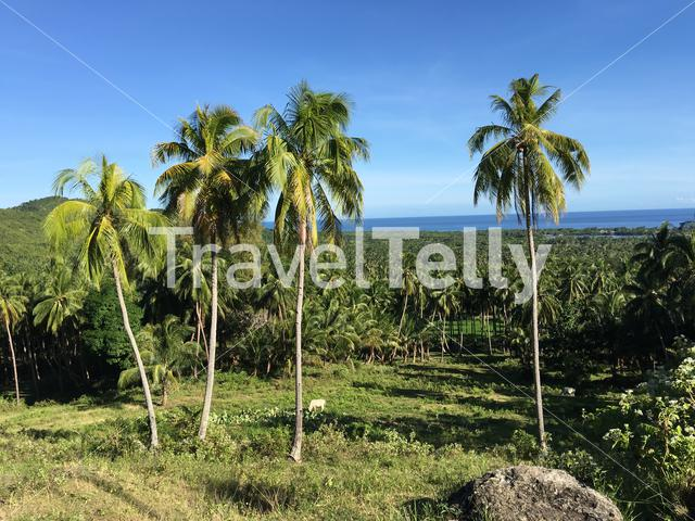 Farm land with palmtrees in the hills of Anda Bohol the Philippines