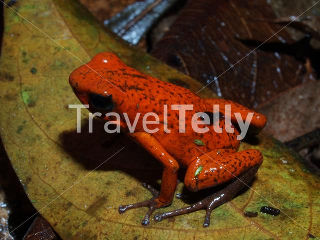 Strawberry poison-dart frog female carrying tadpole on her back in Talamanca National Park Costa Rica