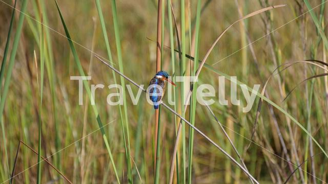 Kingfisher on a branch at the savanna in waterberg South Africa