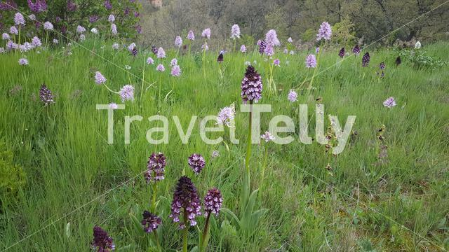 A field of orchids in spain