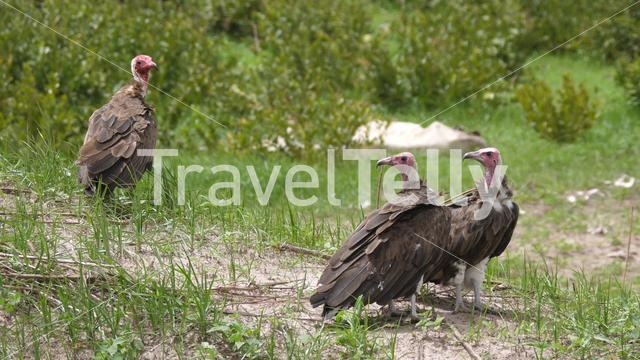 Three Hooded vulture on the ground in The Gambia, Africa