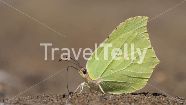 Close up from a common brimstone gets nutrients from soil in Spain