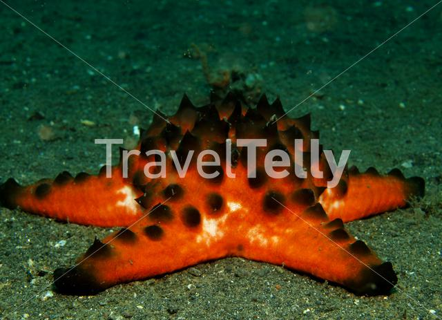 Horned Sea Star in Lembeh Sulawesi Indonesia