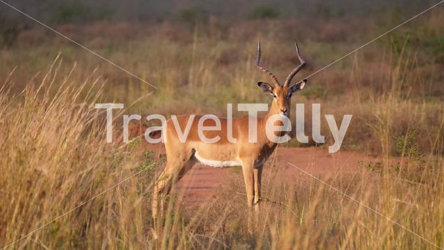 Impala at the savanna of Waterberg National Park South Africa