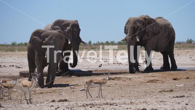Herd of elephants and sprinbok at a dry savanna in Etosha National Park, Namibia