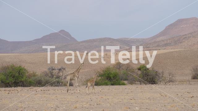 Mother and baby giraffe together on a dry savanna of Orupembe in Namibia
