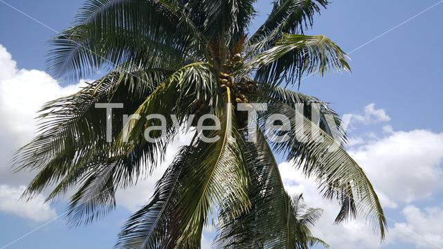 Coconuts in a palmtree in Suriname