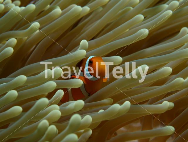 Clownfish in Bunaken National Marine Park Indonesia