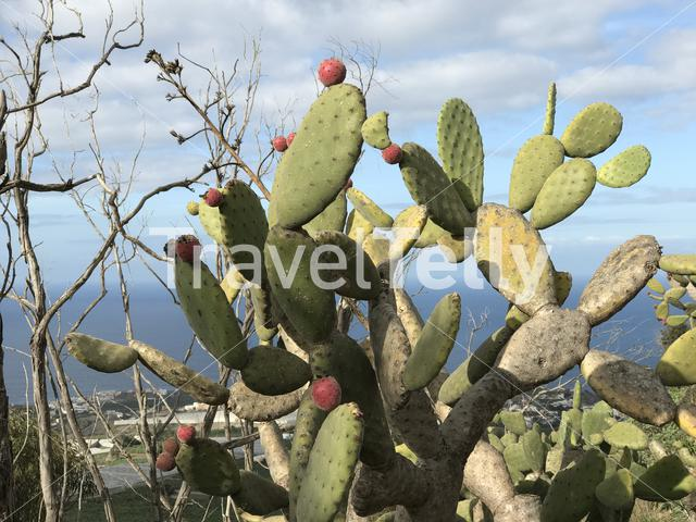 Cactus at mount Arucas in Gran Canaria