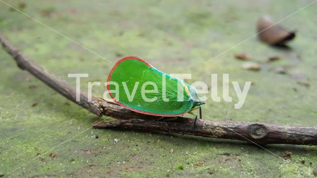 A planthopper on a branch around Sala Falls in Guinea, Africa