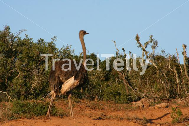 Ostrich on the savanna in South Africa
