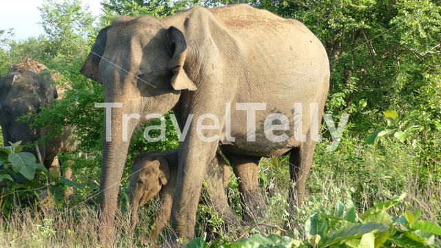 Asian elephant with her calf in Udawalawe national Park Sri Lanka