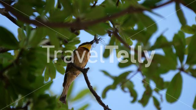 Bee-eater eating a dragonfly on a tree branch
