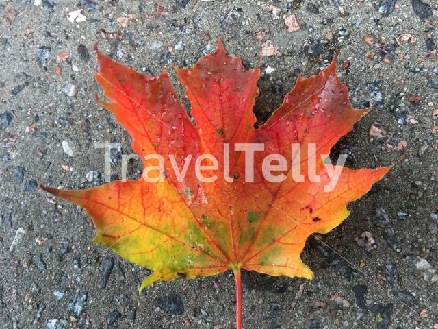 Autumn red yellow and green leaf on the ground in Pärnu Estonia